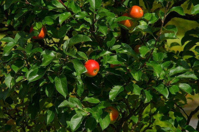Apfelernte im Alten Land – Wir bringen euch zum Pflücken!
